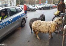 Owca i baran spacerowały po Stargardzie