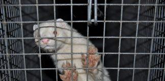 zakaz hodowli zwierząt na futra
