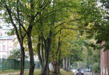Drzewa na ulicy Broniewskiego zostają