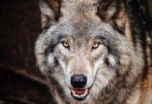 Wilk w Świnoujściu