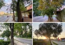drzewa przy ulicy Modrej i Koralowej